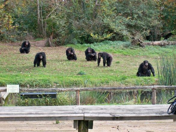 Avant l'arrivée des Bonobos, ce sont les chimpanzés qui nous ont accueillis lors de notre visite du site